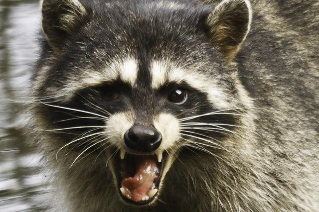 Are Raccoons Dangerous? For September 2019